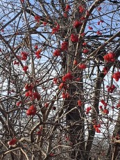 dec 1 red berries